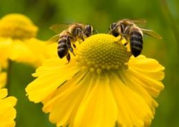 Pszczoły w żółtym kwiatku
